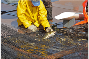 image of dnr fisheries staff handling walleyes at egg harvest