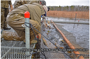 image of walleyes in trap net at Pine River