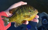 image of red ear sunfish