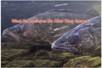 image links to article about walleye spawning