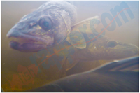 image of walleyes under water