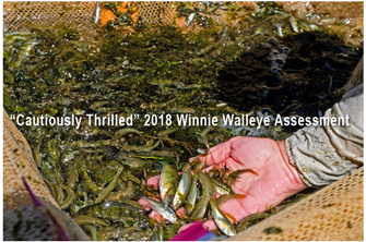 image of young walleyes in net