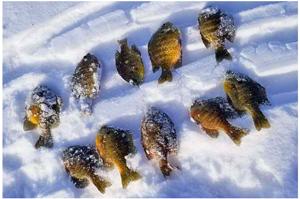 image of bluegils on ice