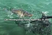 image of walleye coming to landing net