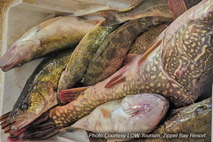 image of cooler filled with walleye, pike and perch