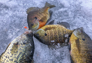 image links to ice fishing report about sunfish and crappies