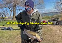 image of DNR Fisheries staff handling big walleye at lake sarah egg take site