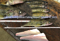 image of lake winnie walleyes on the fillet table