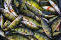 image of large bucket filled with perch