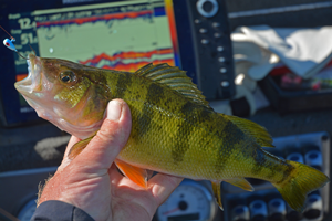 perch caught on lindy live bait jig