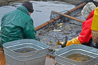 image of DNR sorting walleyes