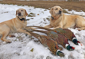 image of Stella and Sandy with 3 nice Rooster Pheasants